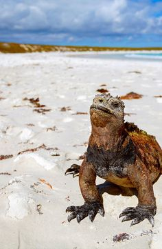 A zoologist's dream, the Galápagos Islands afford a once-in-a-lifetime chance to witness animals found nowhere else on the planet. Quito, Galopagos Islands, Island Pictures, Equador, South America Travel, Paradis, Zoology, Travel And Leisure, Culture Travel