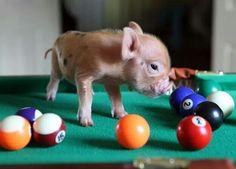 Pig pic