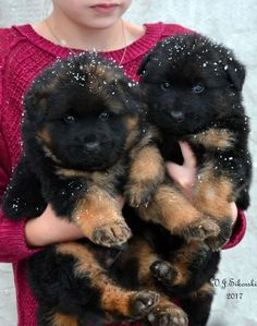 4 week old Long Coat German Shepherd puppies