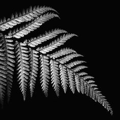 New Zealand Fern Art Print