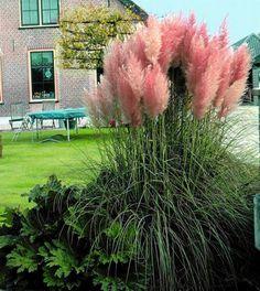 "Pink Pampas Grass - Cortaderia selloana rosea - 4"""" Pot"