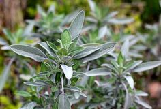 Sage (Salvia officinalis) - grow this in a medieval inspired herb garden - Photo Isaac Wedin via Flickr/Creative Commons