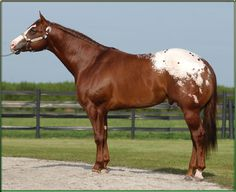My little Secret: bay with white blanket appaloosa stallion, standing at Char O lot ranch.Only Equine Beautiful Horse Pictures, Beautiful Horses, Animals Beautiful, American Quarter Horse, Quarter Horses, Appaloosa Horses, Horse World, All The Pretty Horses, Horse Photos