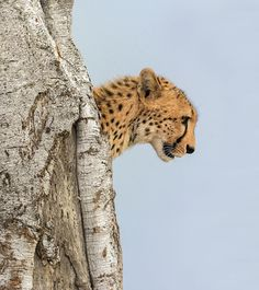 "beautiful-wildlife: "" On the lookout by Marc MOL """