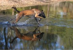 "A Belgian Malinois cadaver K-9 ""walks"" on water. - policemag.com - POLICE Magazine"