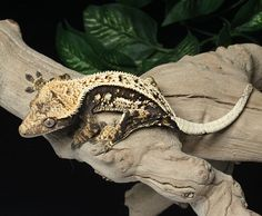 Black and white Crested Gecko