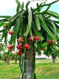 Conhece esta planta diferentona?  É um cacto que dá uma fruta, a Pitaya! Saiba tudo sobre ela aqui