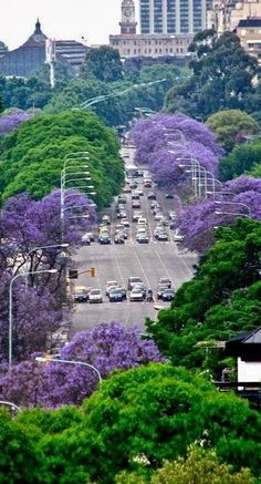 Jacarandas (the purple flowering trees) - Buenos Aires, Argentina