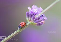 Ladybird in lavender by pierluigisaddi. Please Like http://fb.me/go4photos and Follow @go4fotos Thank You. :-)