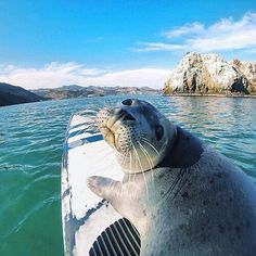 Tag who you'd paddle with! Avila Beach California by by travelawesome Best Vacation Spots, Best Vacations, All Gods Creatures, Sea Creatures, Cute Baby Animals, Animals And Pets, Cute Seals, Voyager Loin, Seal Pup
