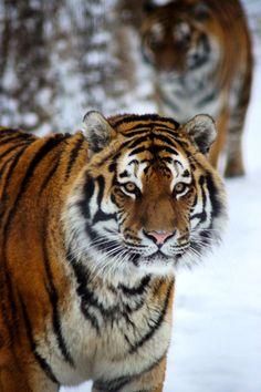 Tigers    byAsh Gerrard