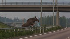 Meanwhile in Finland: Moose trying to keep fit on the hurdle track.