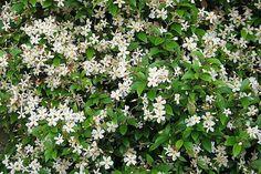Trachelospermum asiaticum - 10 AGM-winning conservatory shrubs and climbers / RHS Gardening Conservatory Plants, Greenhouse Plants, Back Gardens, Climbers, Shrubs, Gardening, Flowers, Sun Room, Garden Ideas