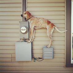 40 Pictures Of Maddie The Coonhound Standing On Things