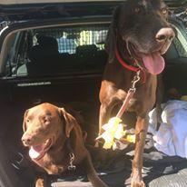 Remy and Barney GSP and Labrador | Pawshake