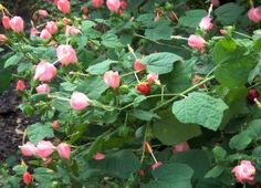 """'Pam Puryear' Turk's cap, flower with pink blooms, named new Texas """"Superstar"""" Native to S. TX, extremely drought tolerant, thrives in dry soils, does well in shade but can take quite a bit of sun. Dang."""