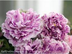 ЛЕ-Айседора. Взрослую цветущую розетку отдала. оставила пасынок - пока будут процветать остальные розетки, определюсь, оставлять сорт или нет