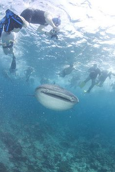 Whale Shark encounters in the Maldives | Divescover.com Blog