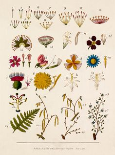 Colour plate depicting Linnaean classification dated 1803 published by Samuel Curtis. One of two plates from 'Linnæus's System of Botany' by William Curtis (1746-1799) published as an educational work for botany students.