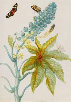 Plate 30 to Metamorphosis Insectorum Surinamensium by Maria Sibylla Merian (1647-1717). Royal Collection Trust.