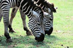 zebras in zoo or national park Brijuni, Croatia