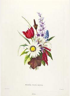 Muscari, Tulipa, Mutisia