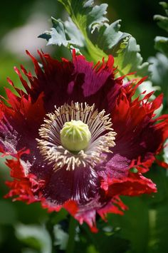 Poppy evokes such good memories.  My grandpa had lots of them throughout his vegetable garden. I think they are opium poppies.