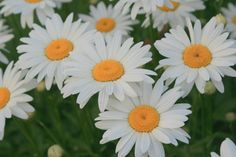 Leucanthemum or commonly called Shasta Daisies.