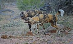 Wild Dogs interacting on the side of the road in the Satara area Kruger National Park, National Parks, African Wild Dog, Apex Predator, Wild Dogs, Leopards, Hunting Dogs, Dog Walking, Wildlife Photography
