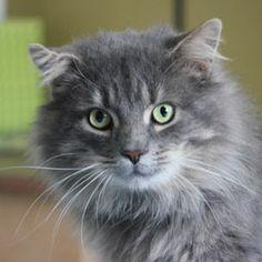 Adoptez /Adopt 3086 - Rubens (Mâle, né approx. en décembre 2010 / Male, born approx. December 2010) #adoptable #cat #chat #montreal #verdunluv http://www.refugechatsverdun.com/chats_a_adopter.html#3086