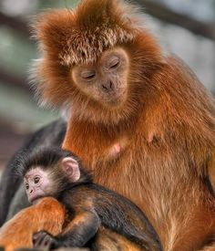 Javan langur infant and mommy- Langur monkeys are found in Asia and communicate with a variety of sounds including coughing, throat-clearing and hiccups