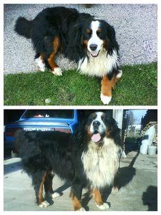 my bernese mountain dog