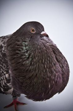 """""""In disdain she saunters away, humming the duet from 'Don Giovanni,"""" plump as a pampered pouter pigeon."""" (15.352-353)"""