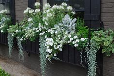 Window box in shades of green & white: White cleome adds height & trailing white petunias