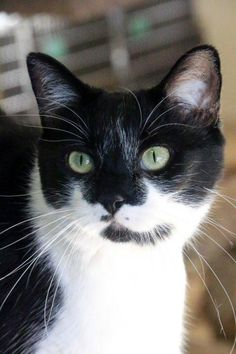 Meet Princess, an adoptable Domestic Short Hair-black and white looking for a forever home. Princess Cat • Domestic Short Hair-black and white • Senior • Female • Medium Sheridan Dog & Cat Shelter Inc. Sheridan, WY