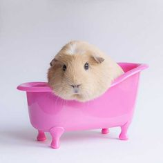 Photographing Booboo: Adorable Animal Photos for a Guinea Pig by Megan Elst http://www.photographytuts.com/photographing-booboo-adorable-animal-photos-guinea-pig-megan-elst/