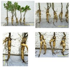 GINSENG: how to grow this medicinal herb . Ginseng info http://www.medicalnewstoday.com/articles/262982.php