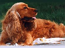 English Cocker Spaniel - Wikipedia, the free encyclopedia
