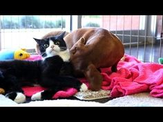 ▶ Abandoned dog bonds with paralyzed cat - YouTube Dachshund adopts cat