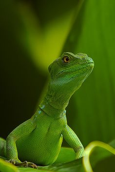Basiliscus (Female) (by avdstelt)