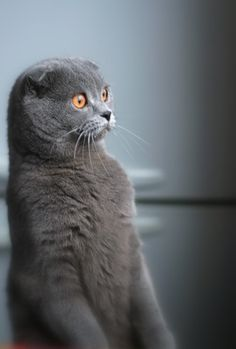 What breedd of cat has such small ears? And the expression on this cat, very interesting.
