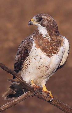 Gavião-Papa-Gafanhoto (Buteo swainsoni - Bonaparte, 1838) © Terry Sohl # Swainson's Hawk Raptors, Bald Eagle, Brazil, North America, Birds, Animales, Adorable Animals, Bird