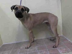 TO BE DESTROYED - 01/10/14  Manhattan Center    My name is LADY. My Animal ID # is A0988955.  I am a female tan and black boerboel mix.  1 YEAR 9 MONTHS old.  STRAY on 01/06/2014 This dog was terrified!!! she aced everything with soft body language and is good with the helper dog. she is submissive. in a strange place with strange people of course she is scared. She is a good dog and away from there she will be totally different. she has all of the sweet traits right there!