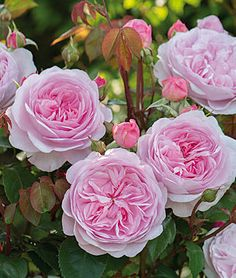 Rose, Olivia Rose Austin.A vigorous and extremely versatile rose.