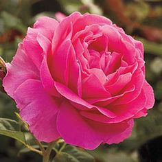 Grande Dame Rose - Super hardy in zone 4. These roses will exhibit better branching to create fuller, more symmetrical bushes with more fragrant, beautiful flowers