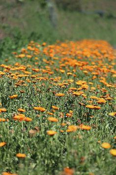 Hildegard von Bingen war vor etwa 900 Jahren eine der Ersten die Ringelblume als…