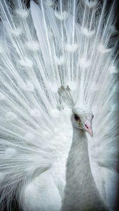 An albino peacock. In my opinion the most beautiful animal on earth.