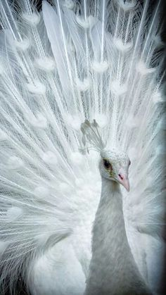 An albino peacock. In my opinion the most beautiful animal on earth.
