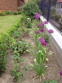 Allium, Rosen und Buchs
