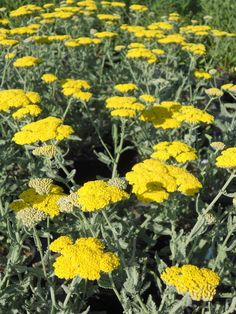 Achillea 'Moonshine' - Boething Treeland Farms Achillea Millefolium, How To Attract Birds, Water Flowers, Types Of Plants, Summer Garden, Colorful Flowers, Evergreen, Planting, Farms